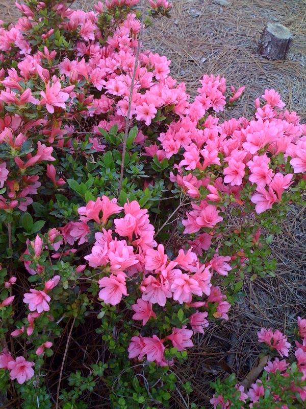 Southern Pines azaleas