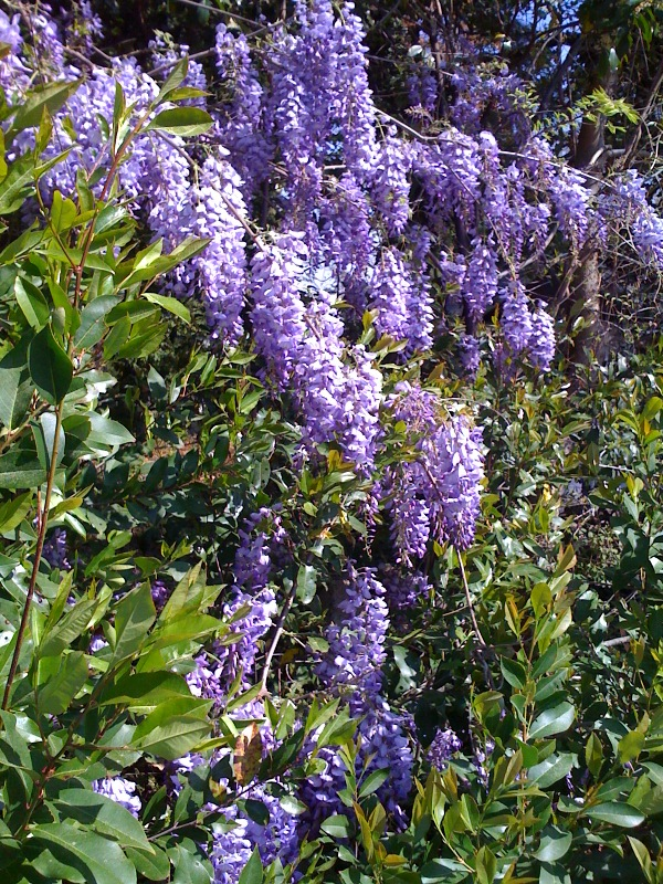 Wisteria in Southern Pines