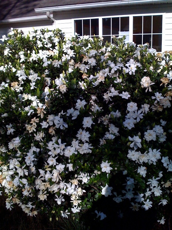 Gardenias in Southern Pines North Carolina