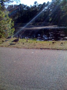 Geese over by my aunt's house